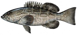 black-grouper