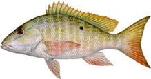 mutton-snapper