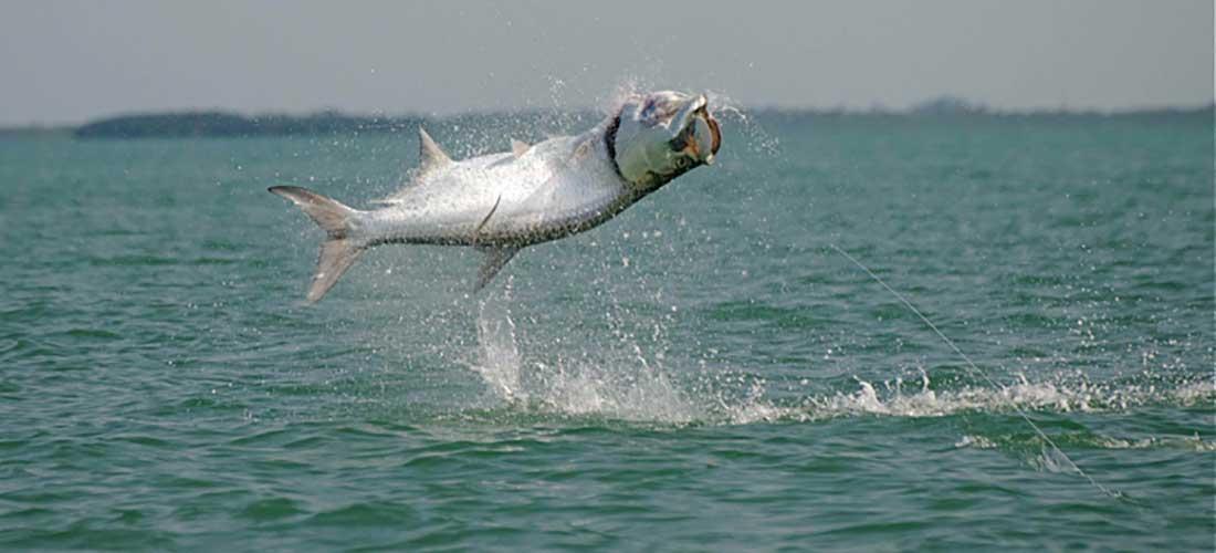 Islamorada fishing charters fishing trips islamorada for Tarpon fish pictures