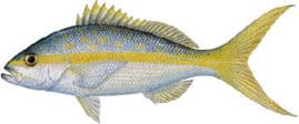 yellowtail-snapper
