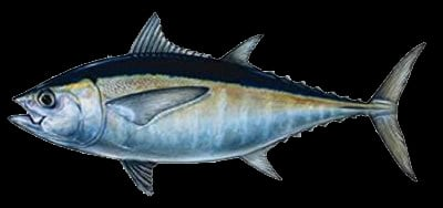 Tuna Fish are game fish for sportfishing in Islamorada & around the Florida Keys. Caught offshore while deep-sea fishing.