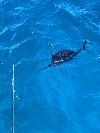A Sailfish caught while on an offshore fishing trip in islamorada with catchalottafish charters.