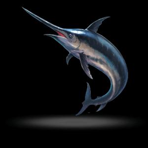 Swordfish are game fish for sportfishing in Islamorada & around the Florida Keys. Caught offshore while deep-sea fishing for Swordfish.